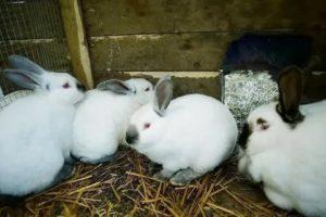 Бизнес на кроликах миф и реальность