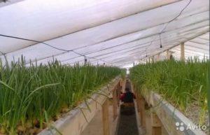 Бизнес на выращивании лука сколько можно заработать